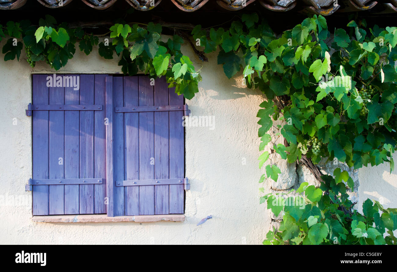 Purple shutters and grape vine growing, Provence, France Stock Photo