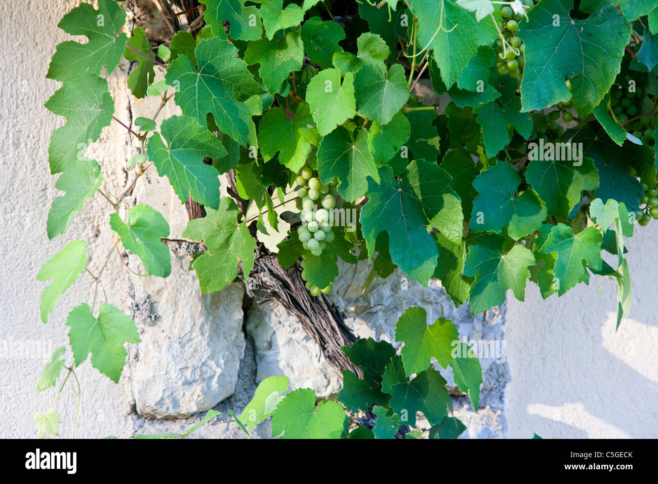 grape vine growing, Provence, France Stock Photo
