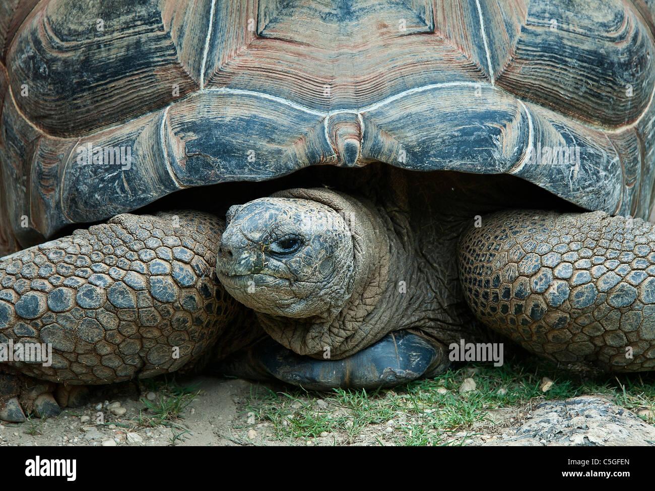 Giant tortoise. - Stock Image