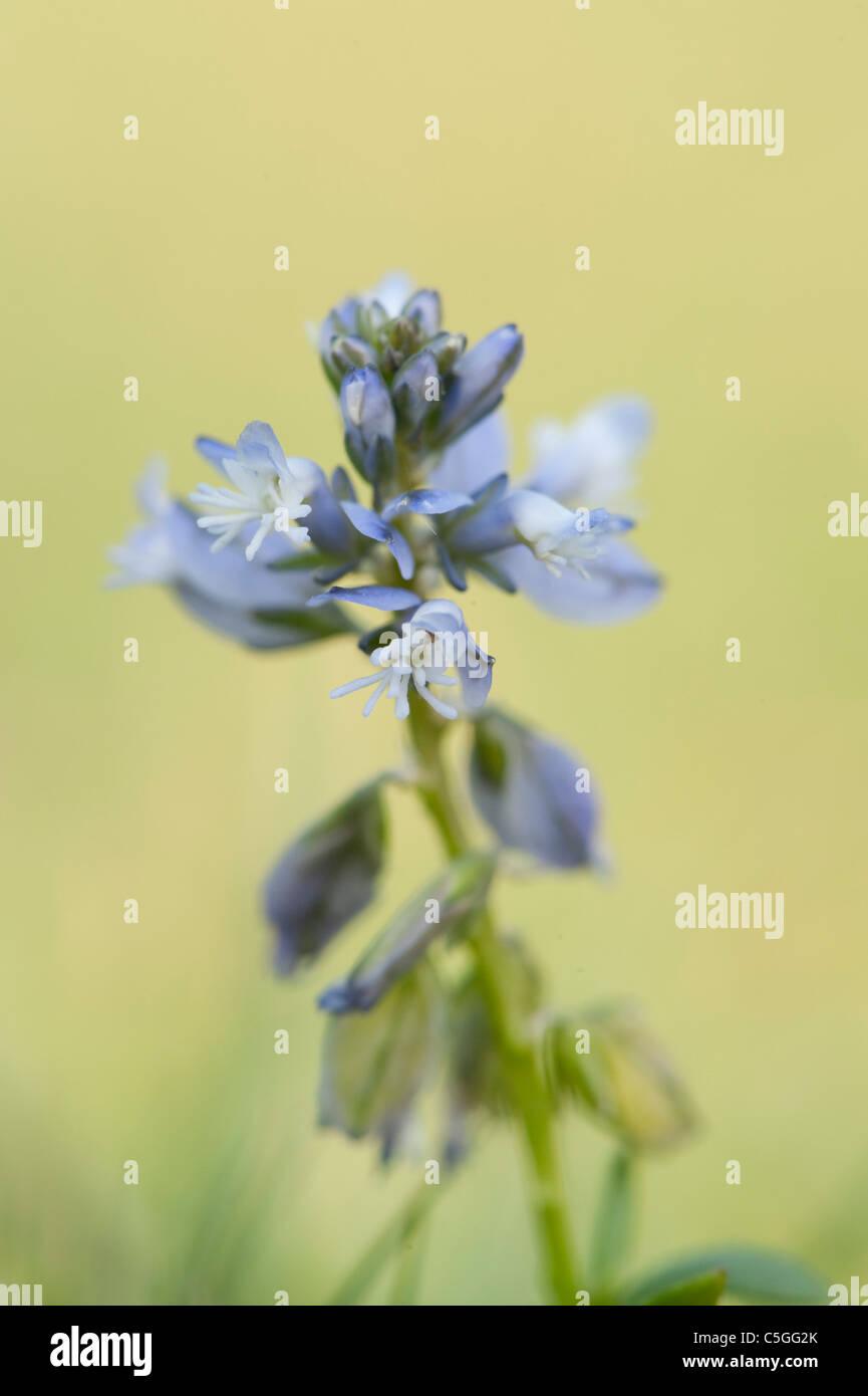 Common Milkwort Polygala vulgaris The Larches UK Stock Photo