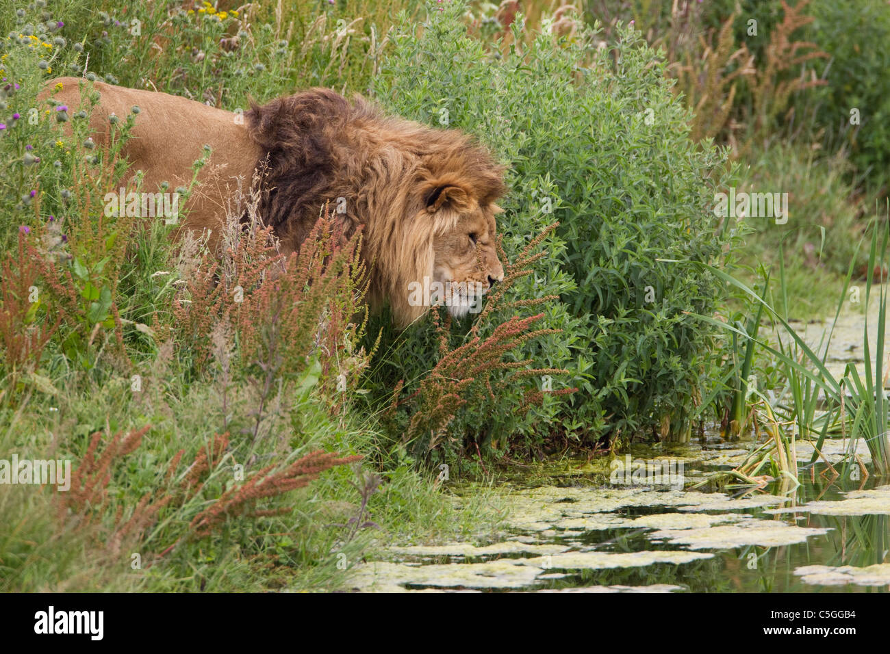 Lion male Panthera leo with large shaggy mane in thick undergrowth near stream taken under controlled conditions Stock Photo