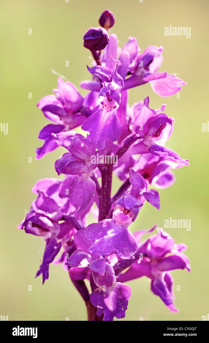 Early Purple Orchid Orchis mascula Park Gate Down UK - Stock Image