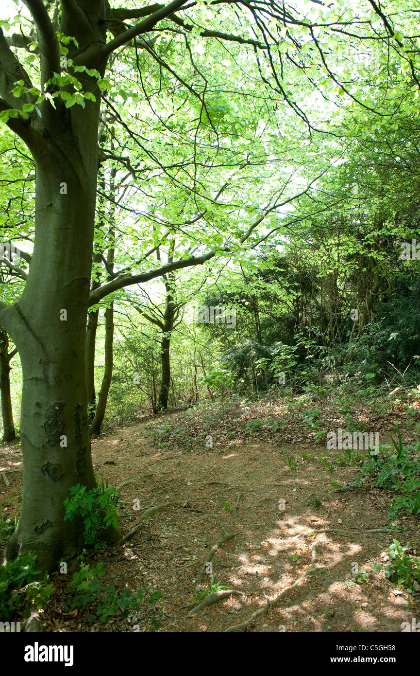 Tree in woodland at The Larches Kent Wildlife Trust UK Stock Photo