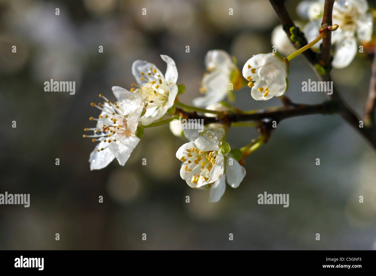 White plum blossom macro with frozen dew and ice stock photo white plum blossom macro with frozen dew and ice mightylinksfo