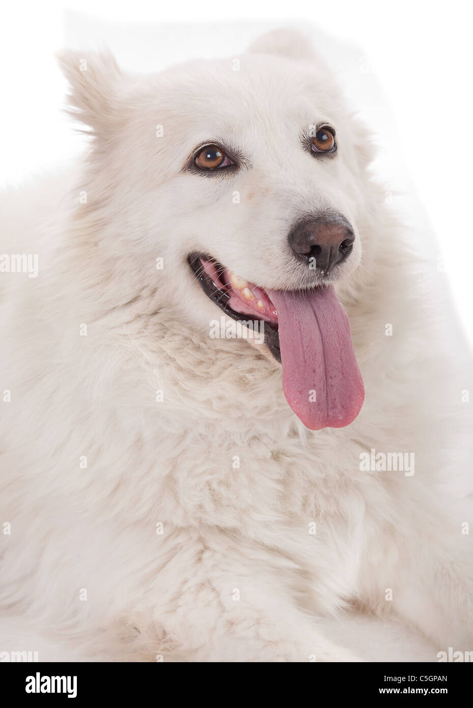 portrait of a beautiful purebred white dog severe sitting on a floor - Stock Image
