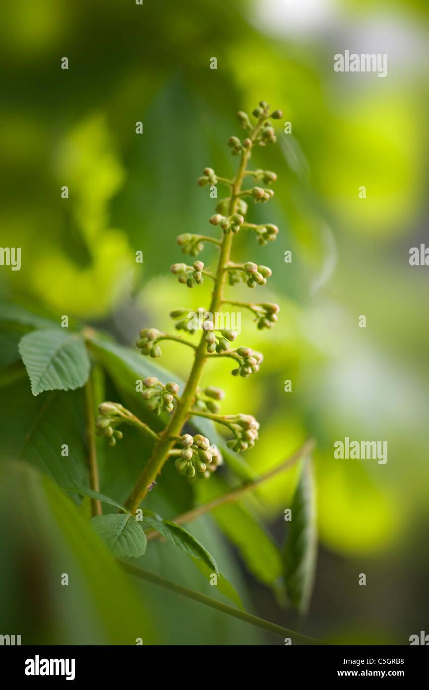 Aesculus hippocastanum - horse chestnut tree, conker tree flower - Stock Image