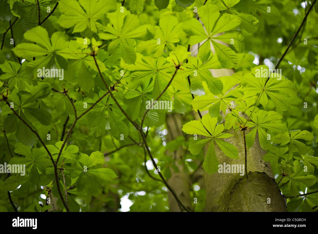 Aesculus hippocastanum - horse chestnut tree, conker tree - Stock Image