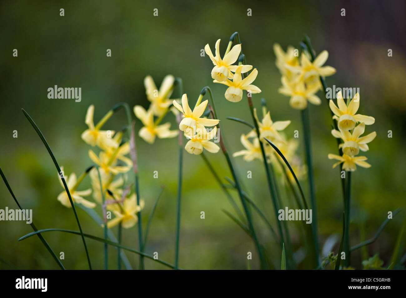 Close-up of the spring flowering Narcissus 'Hawera' - Daffodil flowers - Stock Image