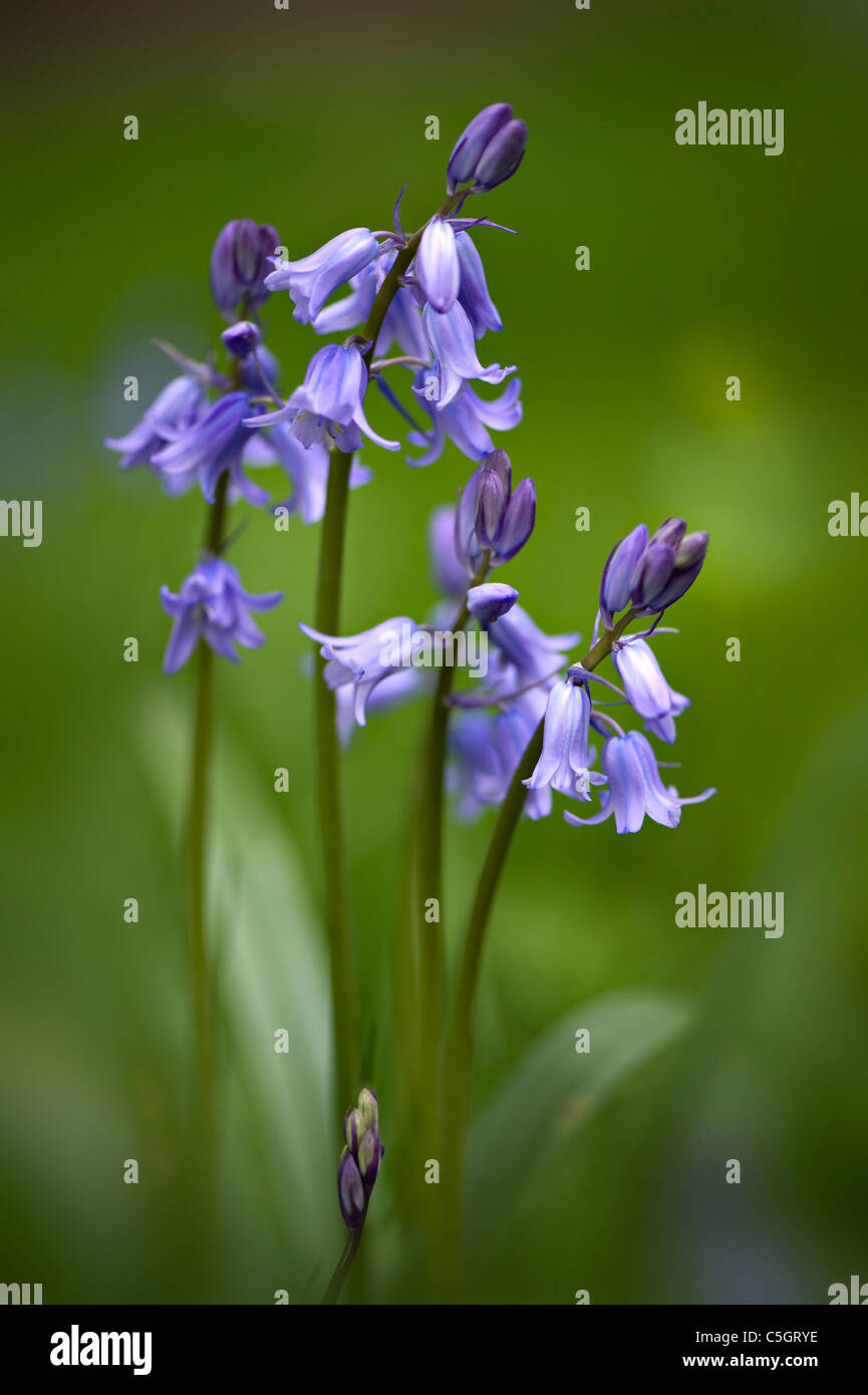 English Bluebells or common bluebells  -  Hyacinthoides non-scripta - Stock Image