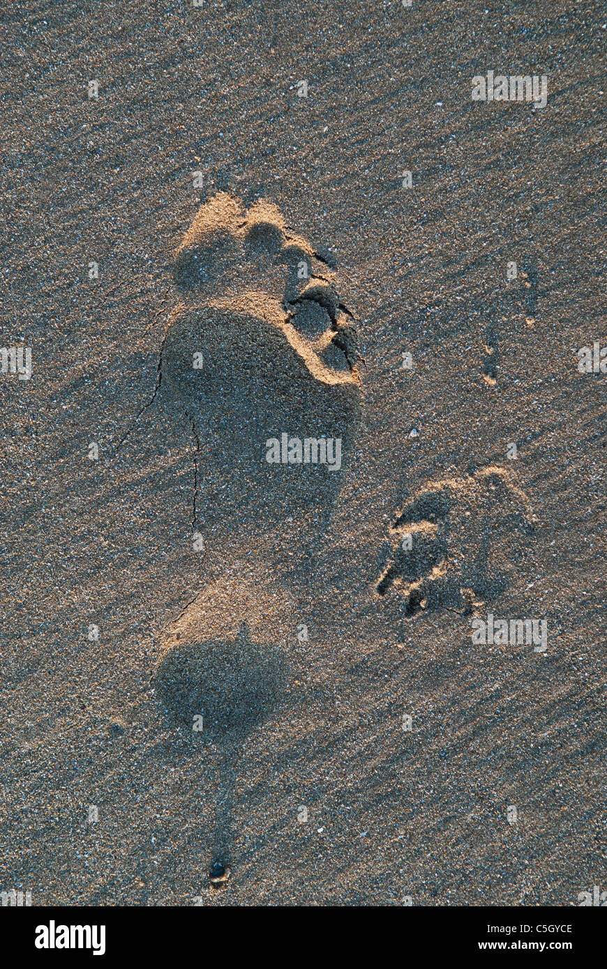 ae84a90666af Human And Dog Prints In Sand Stock Photos & Human And Dog Prints In ...