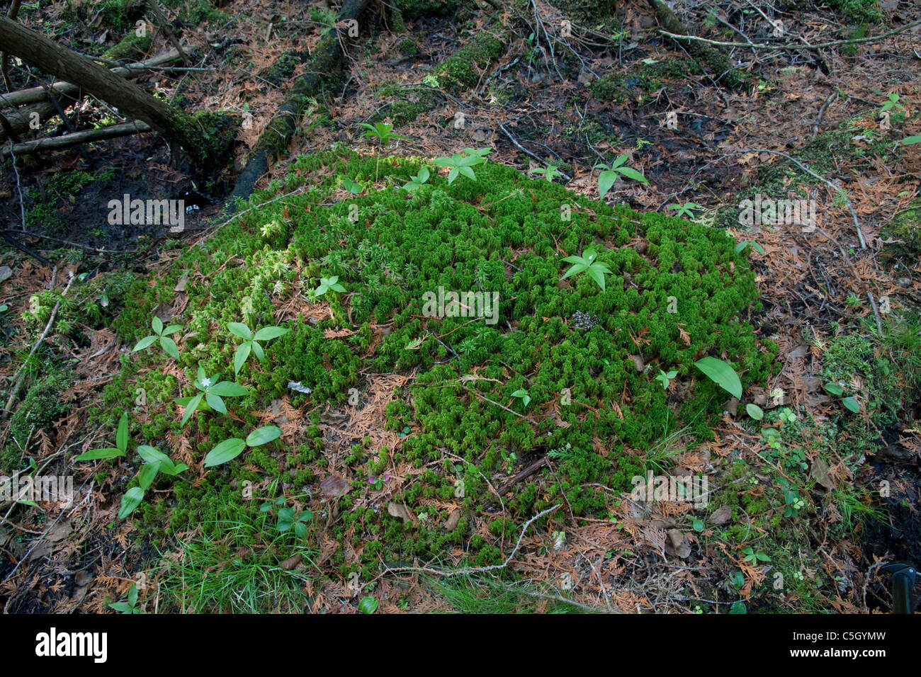 Sphagnum moss hummock in White Cedar Balsam Fir Swamp Northern Michigan USA - Stock Image