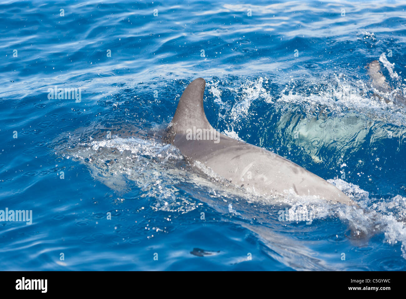 Atlantic Spotted Dolphin (Stenella frontalis) porpoising in the Atlantic Ocean south of Sao Miguel Island in the - Stock Image