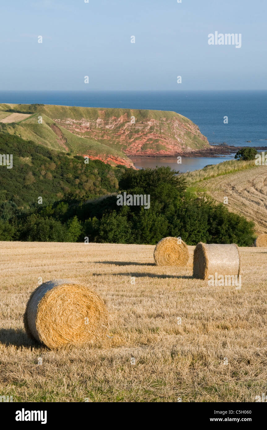 Hay or straw bales near St Abbs head - Stock Image