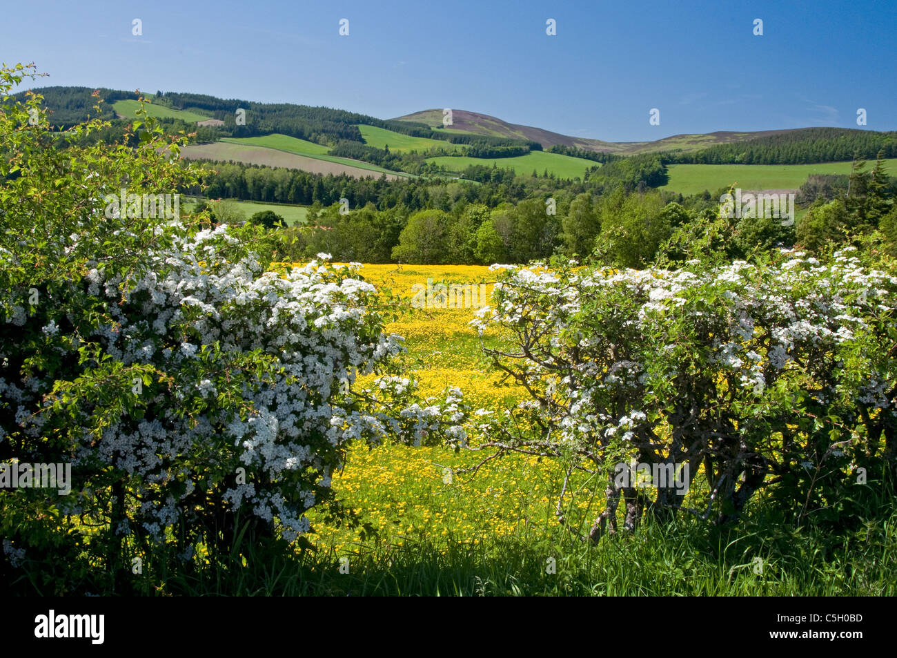 Hedge in spring with wildflowers in field near Selkirk - Stock Image