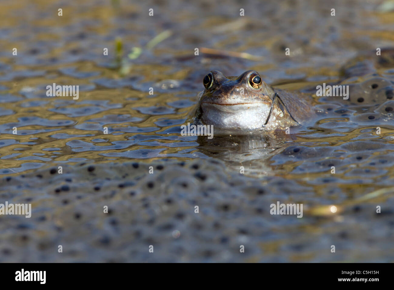 Common Frogs in the mating season 24 March 2011 - Stock Image
