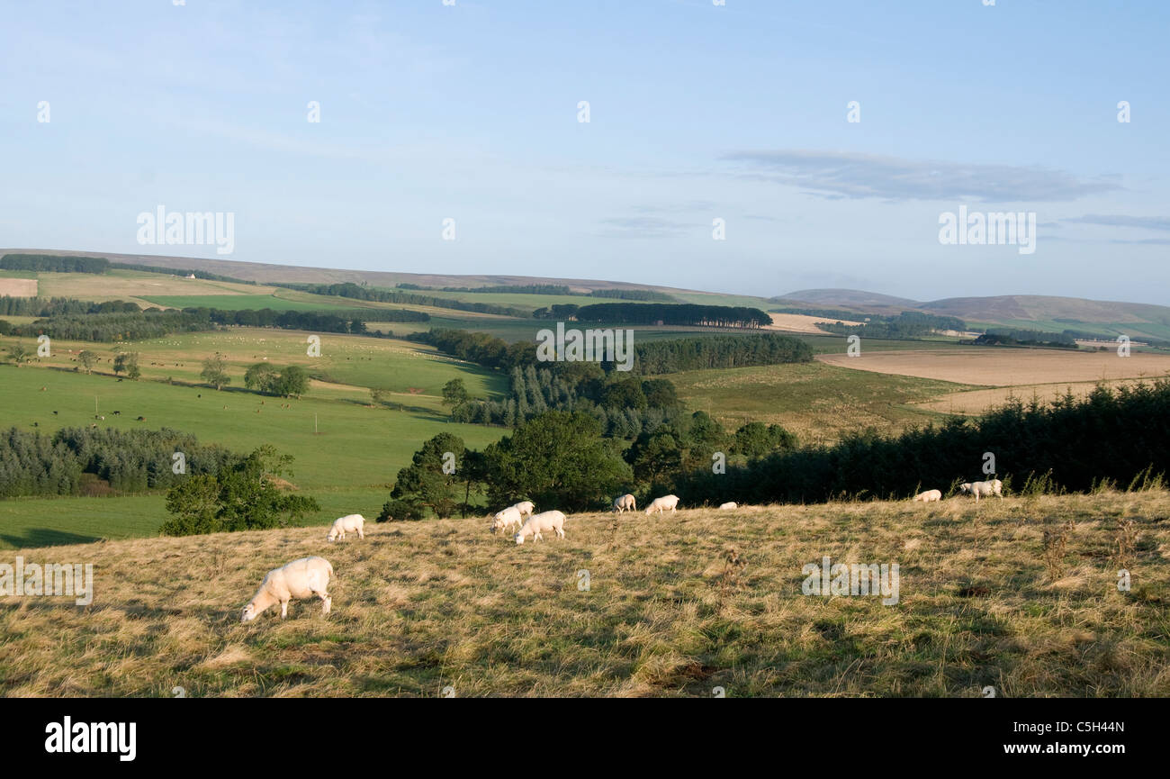 Scottish Borders farmland with sheep - Stock Image