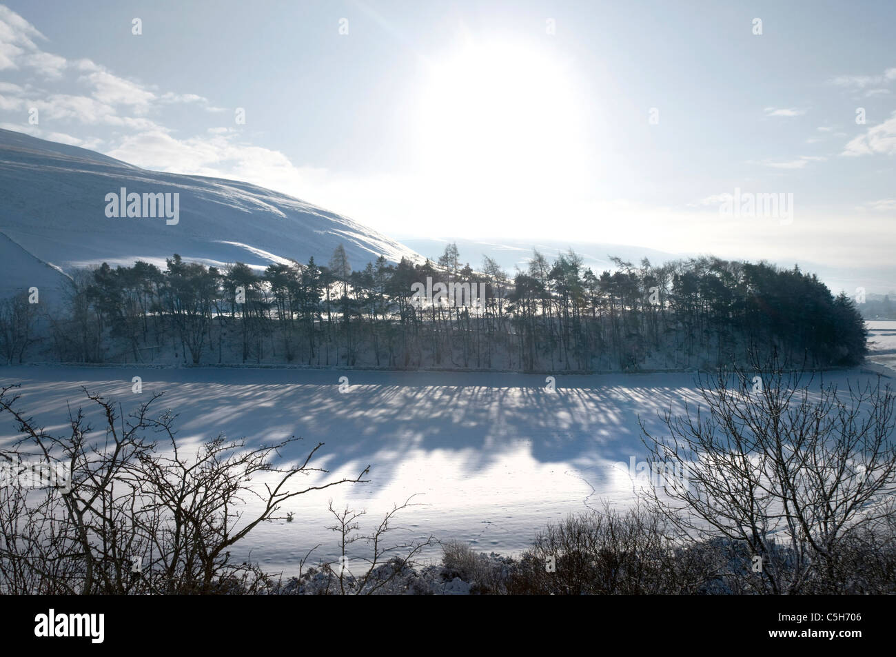 Winter copse of plantation Scots pines by Yarrow Water - Scottish Borders - Stock Image