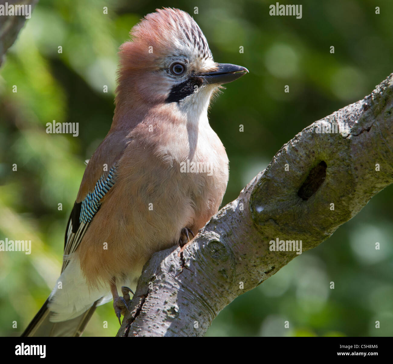 Adult Jay with crest feathers raised. Stock Photo