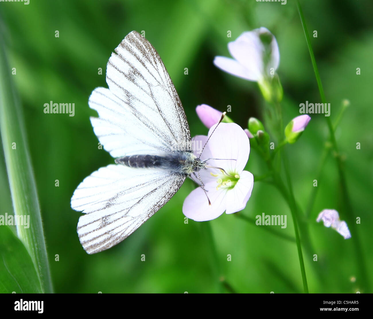 A Green-veined White (Pieris napi) butterfly on a Lady's Smock or Cuckoo flower - Stock Image