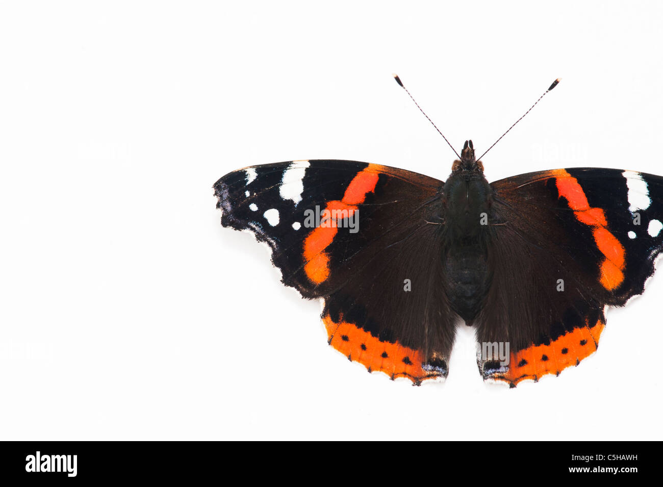 Vanessa atalanta. Red Admiral butterfly on white background - Stock Image