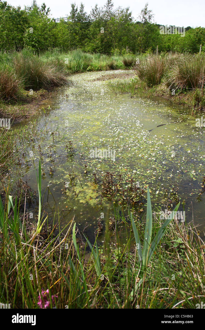 Water crowfoot flowers (Caltha palustris) in a pond - Stock Image