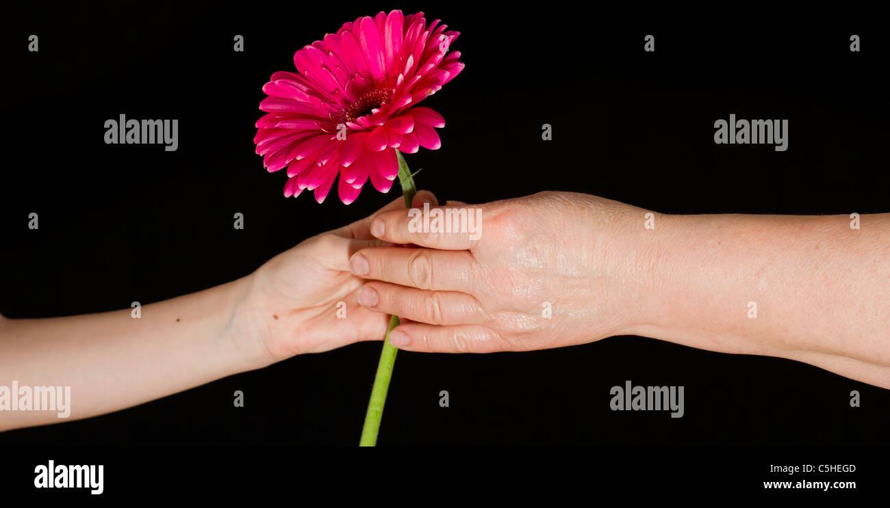 little girl giving flower grandmother stock photos little girl