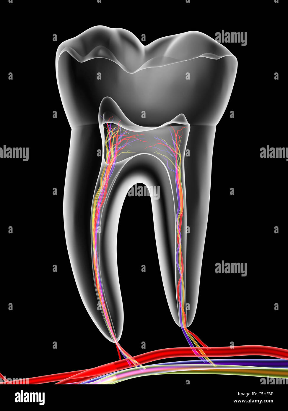 Molar tooth - Stock Image