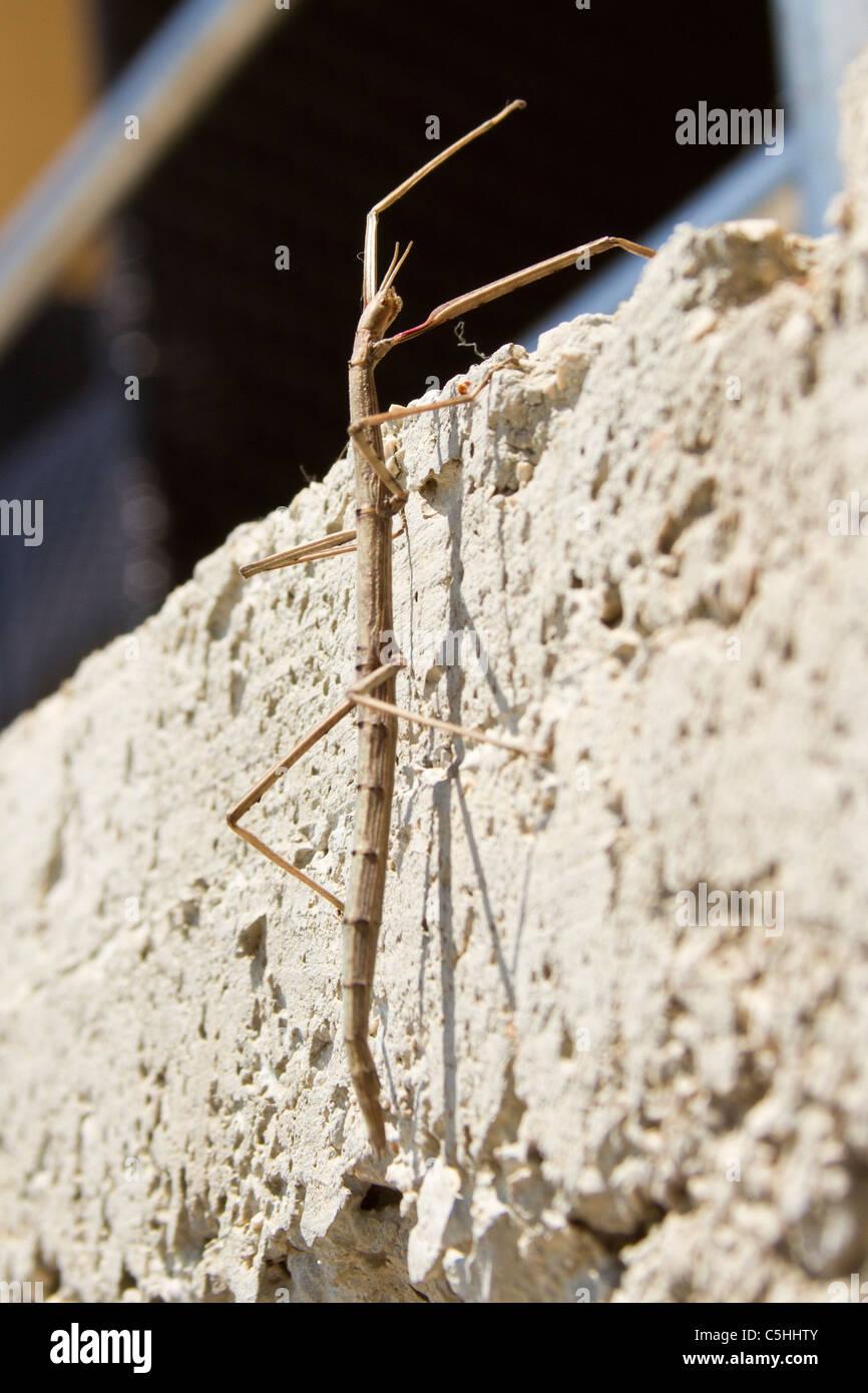 sitck insekt phasmatodea on the rock - Stock Image