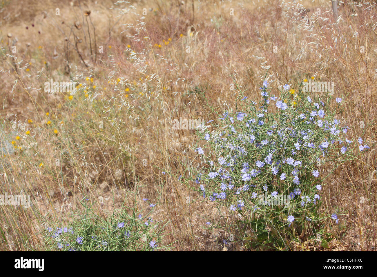 Turkey, Central Anatolia, flowers in summer along road D300 - Stock Image