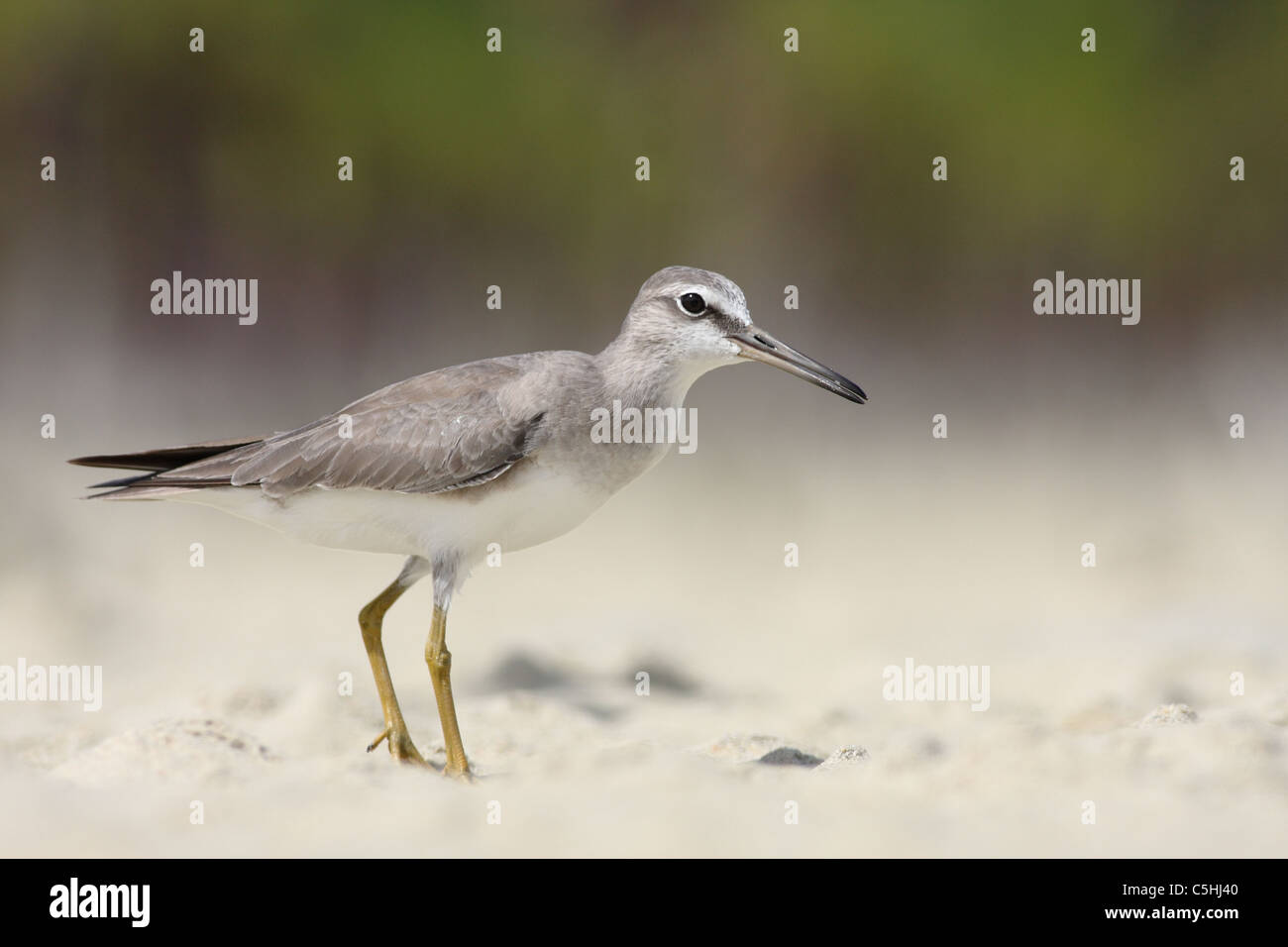 Greay-tailed Tattler (Heteroscelus brevipes) - Stock Image