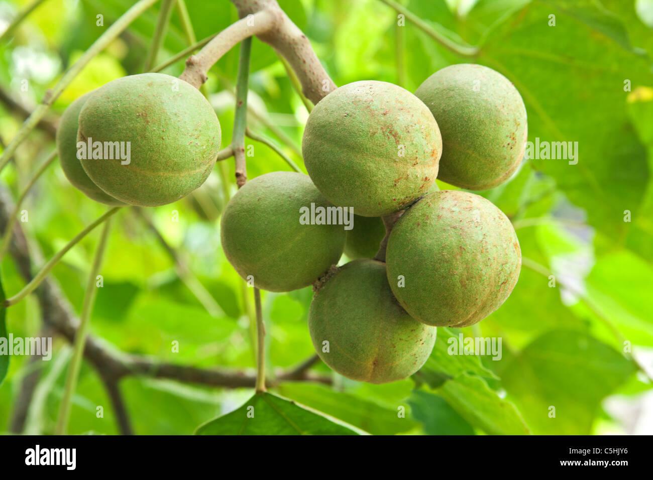 Kukui fruit, branch. - Stock Image