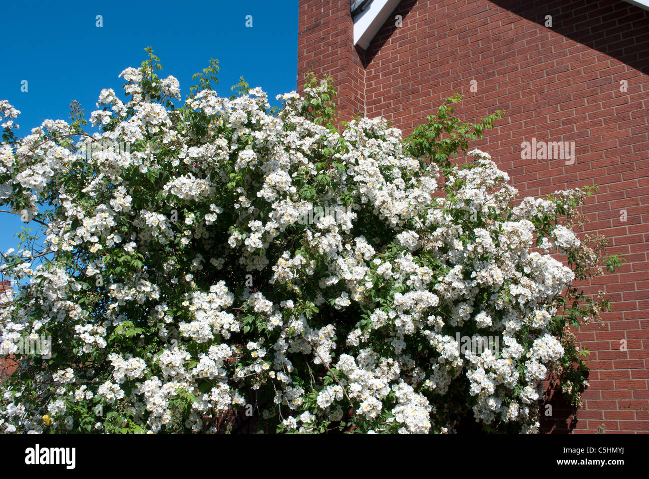 Pergola White Rambling Rose Rambling Stock Photos Pergola White
