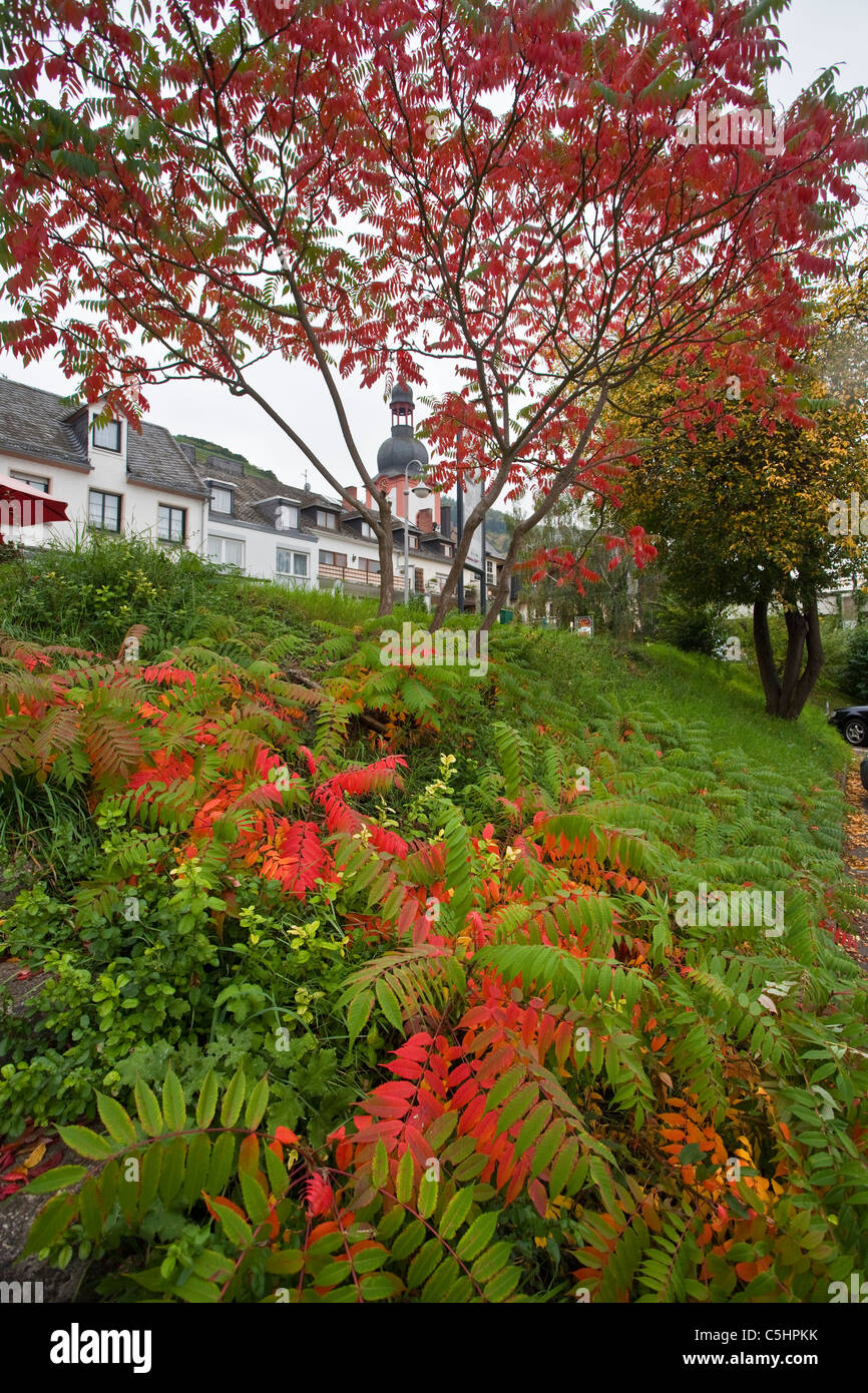 Rot gefaerbte Blaetter, Farn, Zell an der Mosel, autumn coulors, village Zell, Moselle - Stock Image