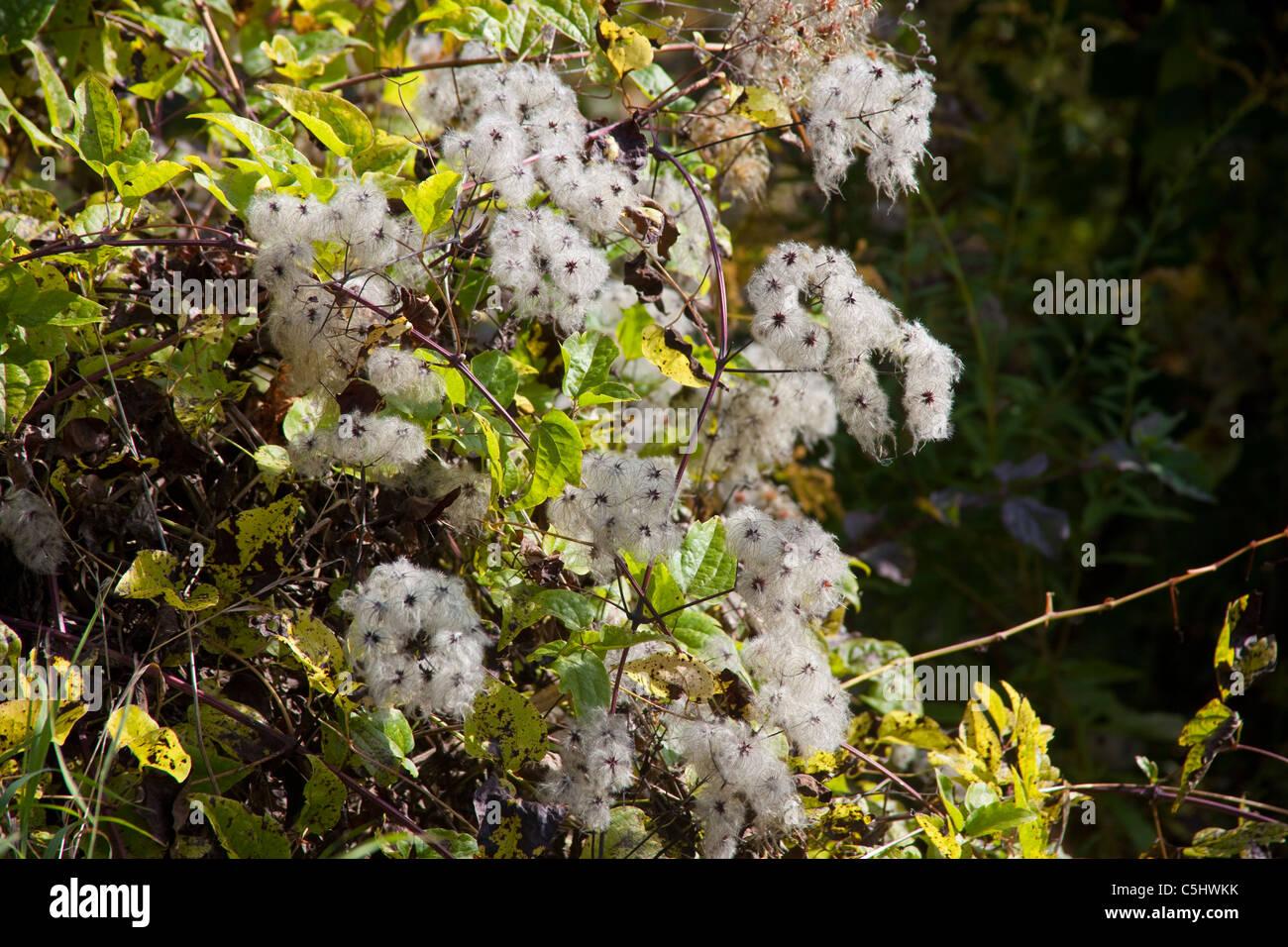 Gemeine Waldrebe oder Gewoehnliche Waldrebe, Clematis vitalba, Mosel Old Man's Beard, Clematis vitalba, Moselle Stock Photo
