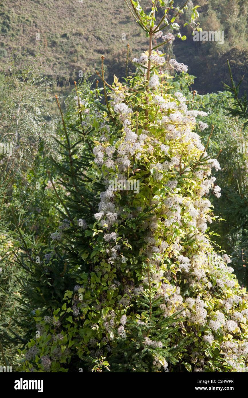 Gemeine Waldrebe oder Gewoehnliche Waldrebe, Clematis vitalba, Mosel Old Man's Beard, Clematis vitalba, Moselle - Stock Image