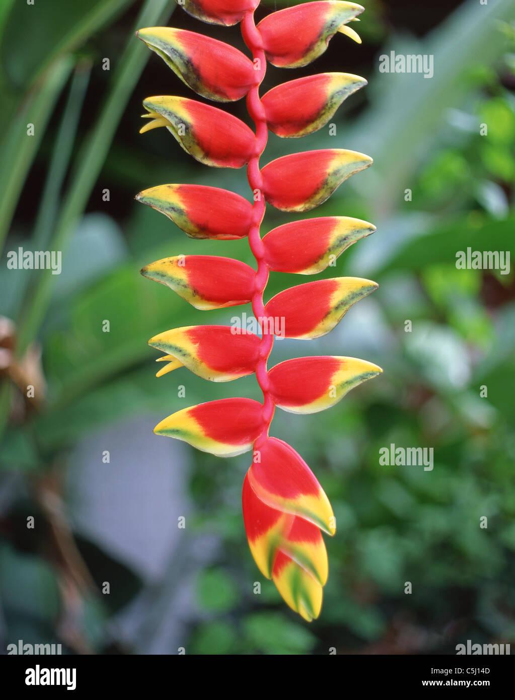 Heliconia rostrata (Lobster claw, False-bird-of-paradise), Singapore Botanic Gardens, Singapore Island, Republic - Stock Image