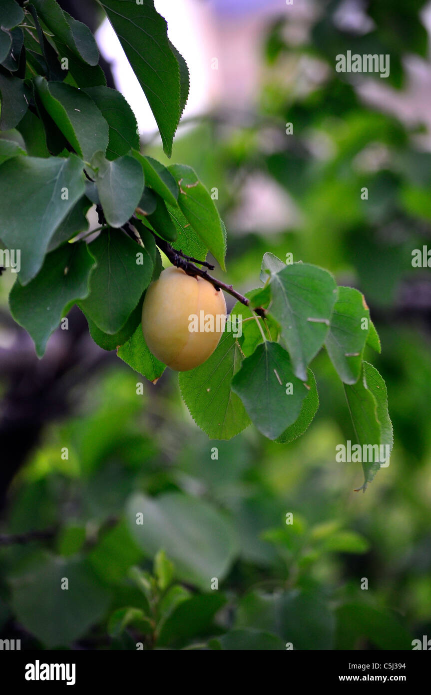 One organic homemade apricot ready to harvest. - Stock Image