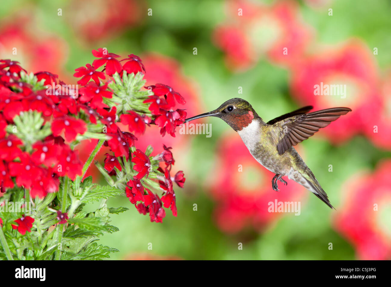 Ruby throated Hummingbird seeking nectar from Verbena Flowers - Stock Image