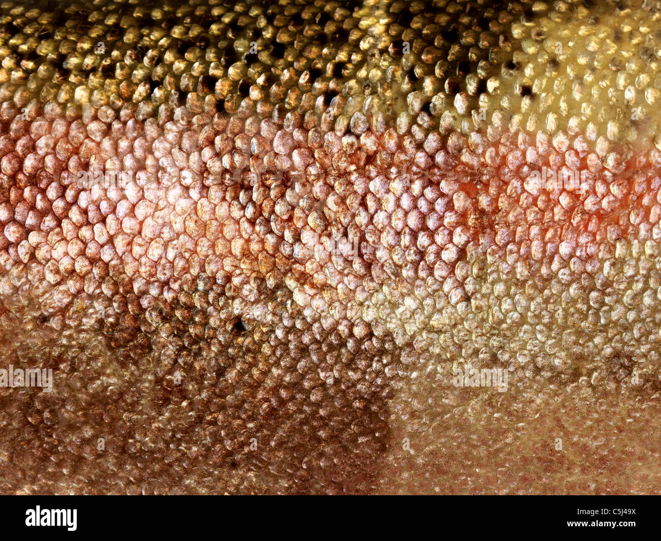 Close Up Of Scales On Colourful Trout - Stock Image