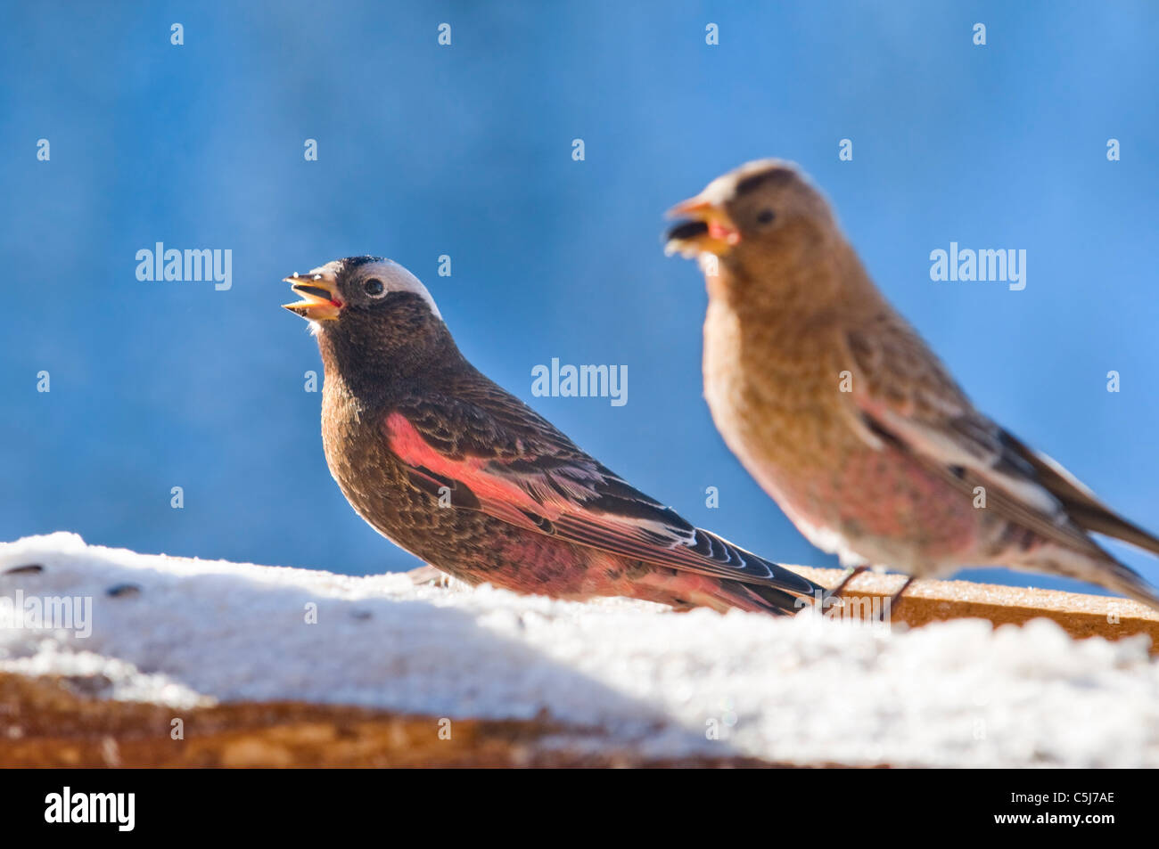 Black Rosy Finch - Stock Image