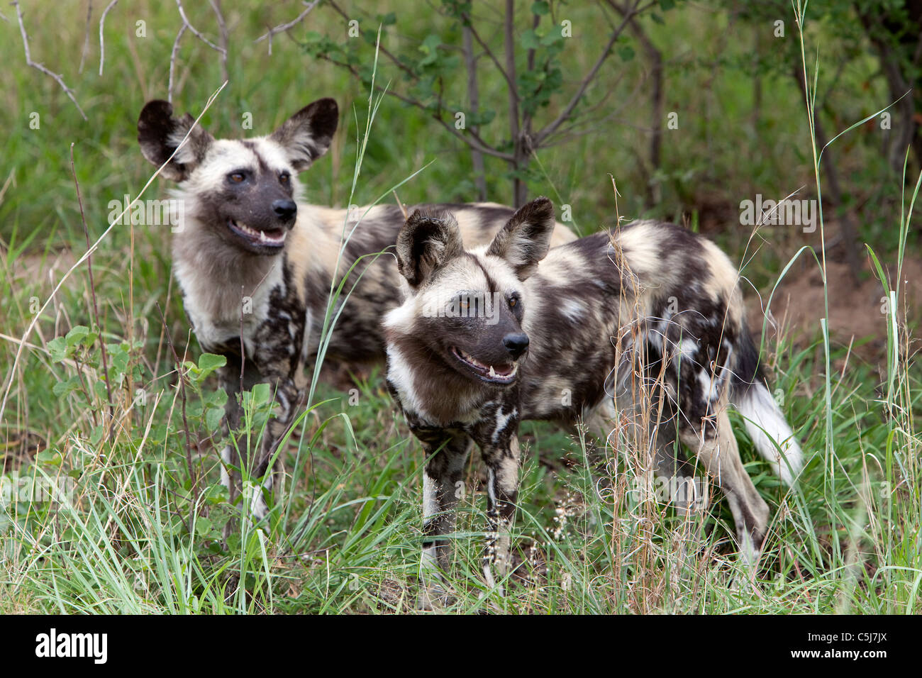 Wild dogs, cheetah orphange South Africa Stock Photo