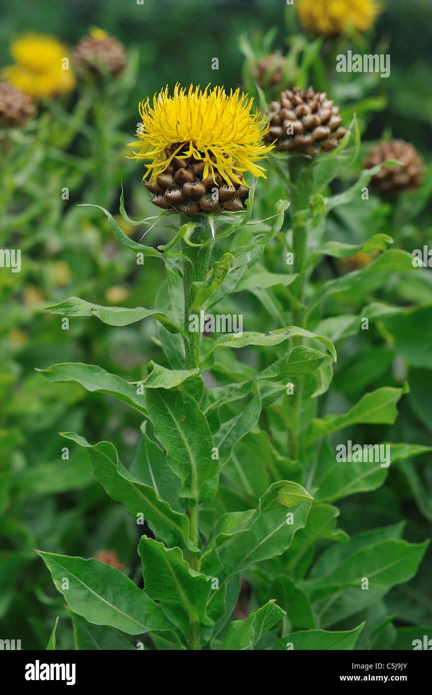 Giant Knapweed Bighead Knapweed Yellow Hardhead Armenian Stock Photo Alamy