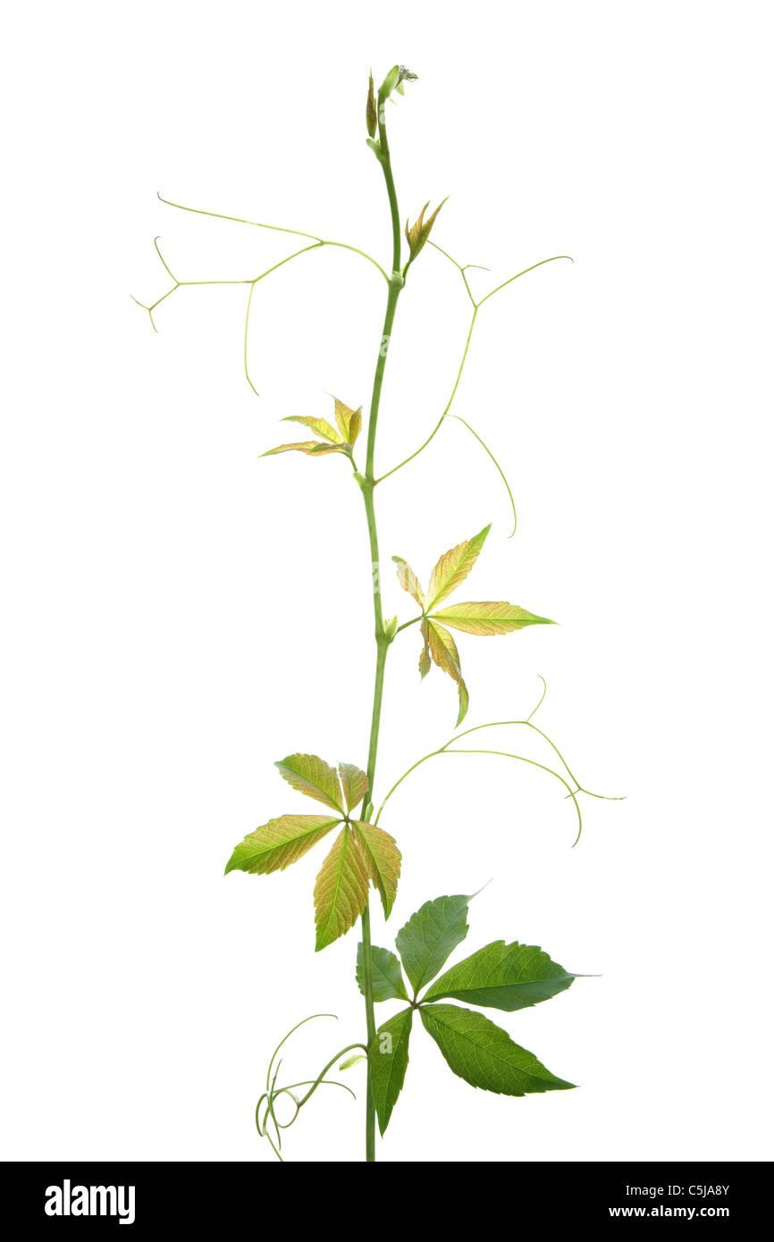 Virginia creeper vine isolated on white - Stock Image