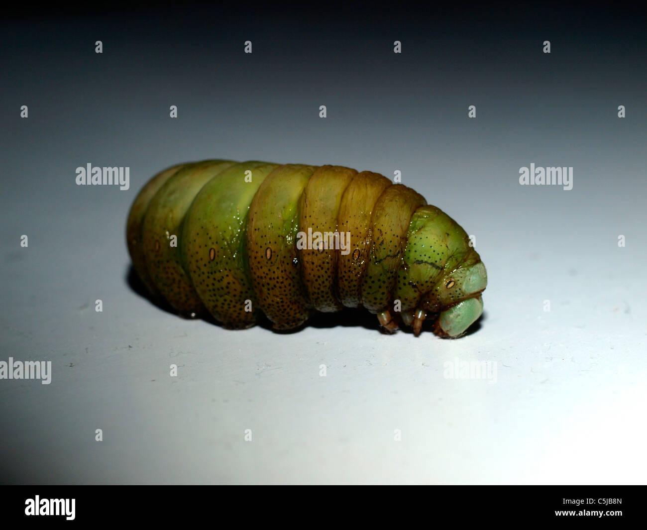 Hawk-moth caterpillar on white background in a dark - Stock Image
