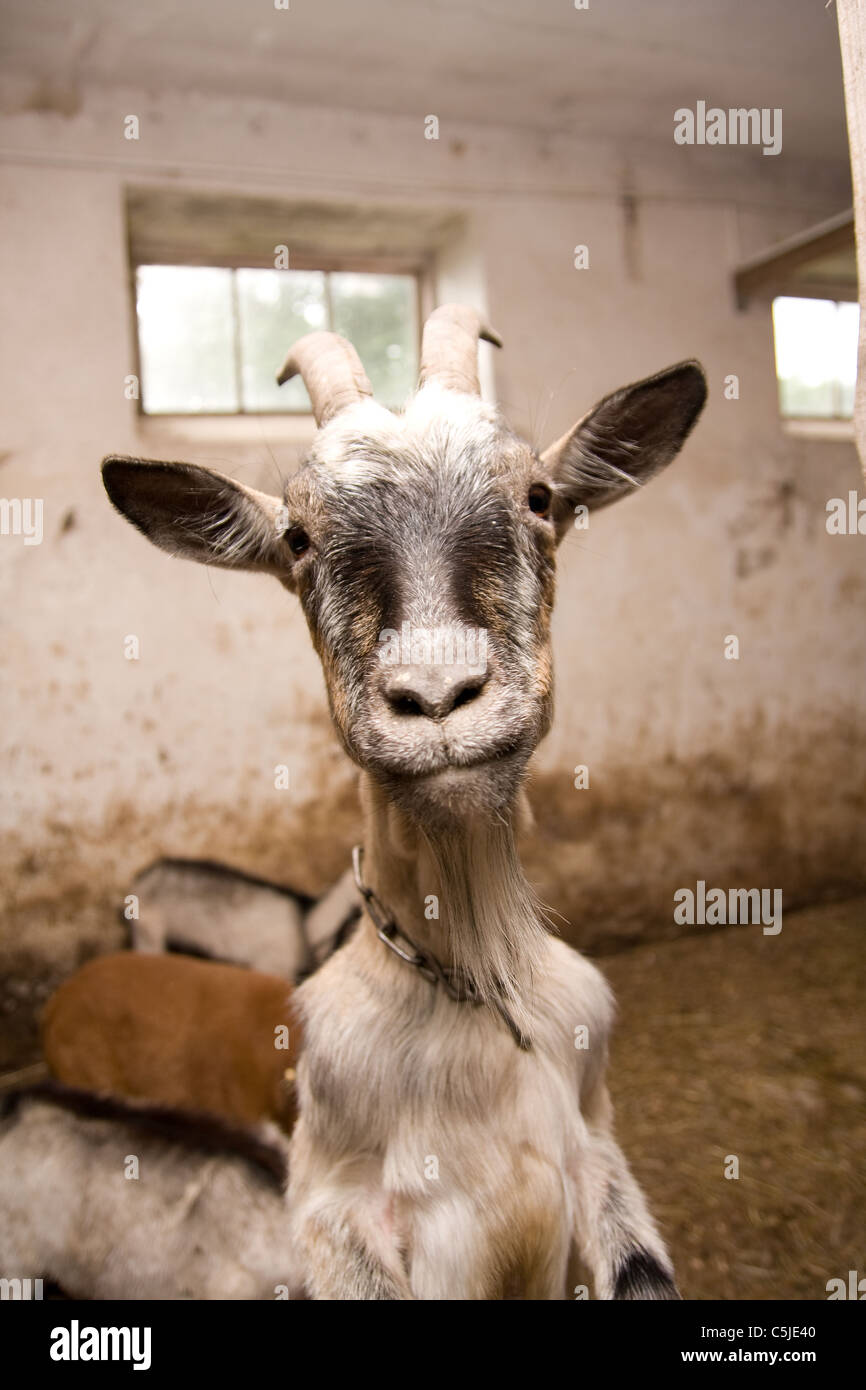 Funny Pictures Of Goats funny goat posi...