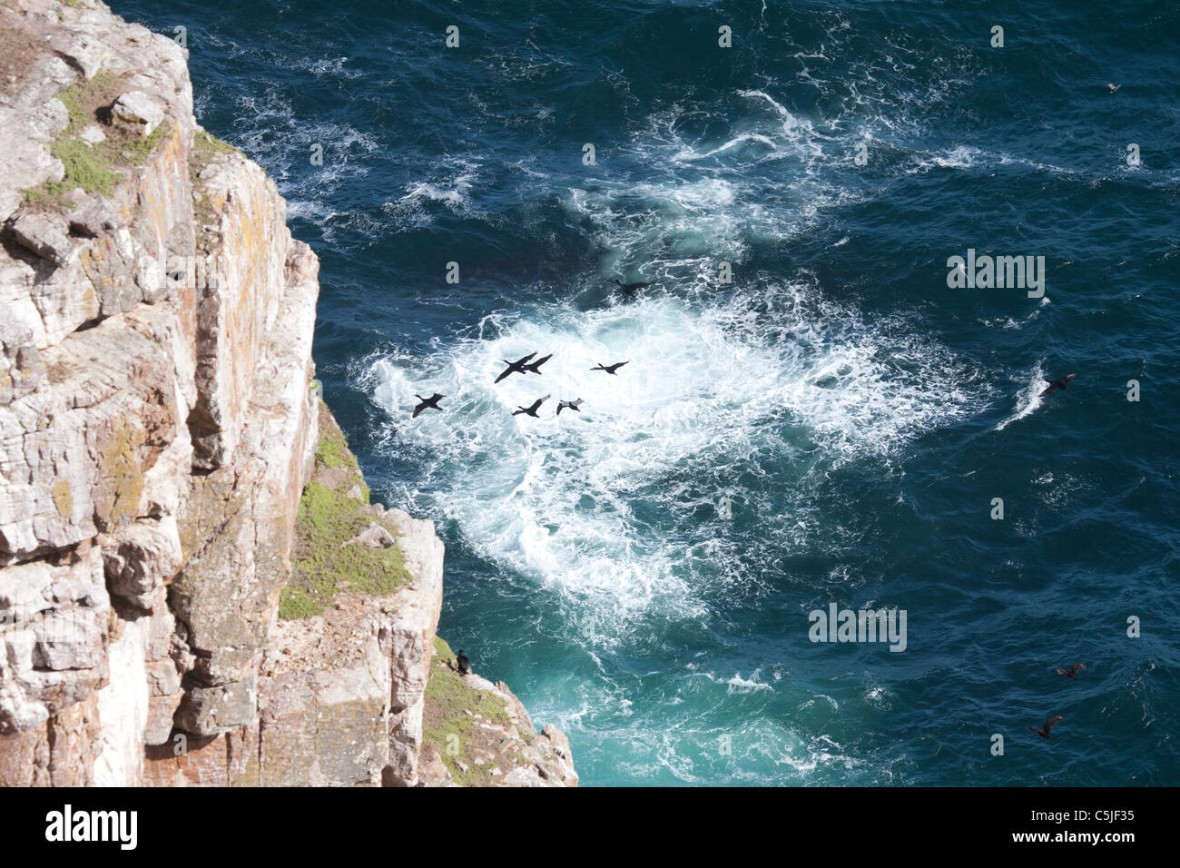 Flog of cormorans at Cape Point South Africa - Stock Image