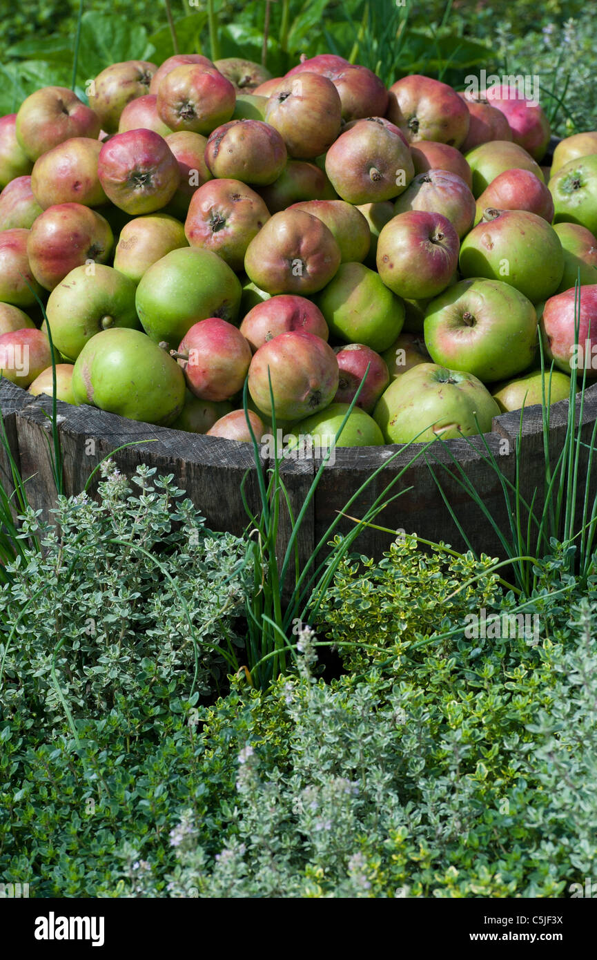 Malus domestic . English apples - Stock Image