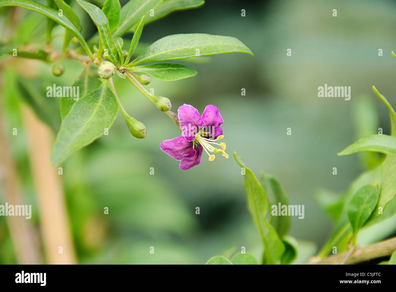 Wolfberry Flower High Resolution Stock Photography And Images Alamy
