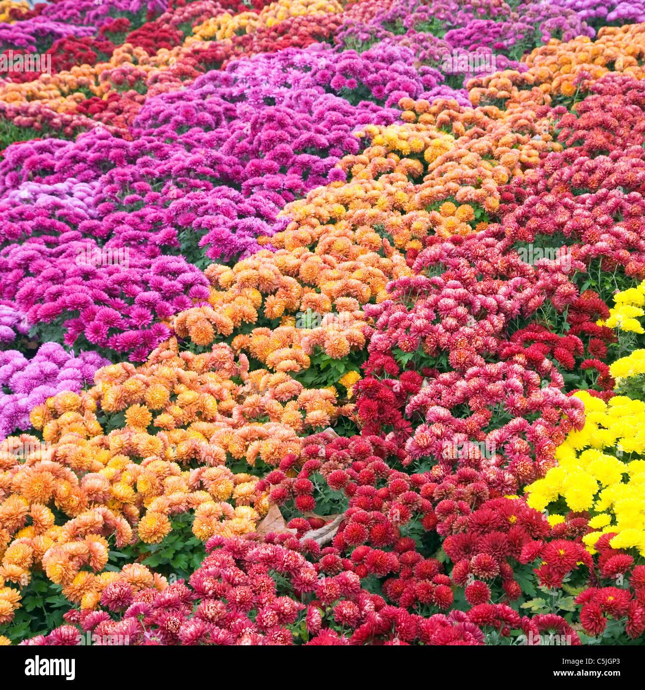 Autumn varicolored chrysanthemum flower bad (striped background) - Stock Image