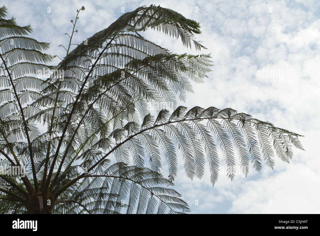 tropical tree fern silhouette under cloudy sky, kaeng krachan national park, Thailand - Stock Image